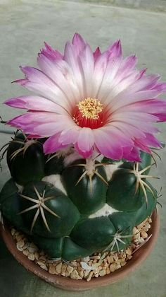 Cactus in bloom! Rare Flowers, Exotic Flowers, Amazing Flowers, Beautiful Flowers, Cacti And Succulents, Planting Succulents, Cactus Plants, Planting Flowers, Cactus Types