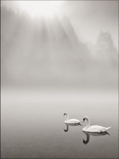 Mother and daughter duck, swimming in the Morning Fog, photo by Stano Strateny.
