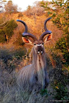 """Greater Kudu (Tragelaphus strepsiceros), also called the """"Grey ghost"""" because of its uncanny ability to melt into its surroundings, is a woodland antelope of eastern and southern Africa. One of the largest species of antelope, males weigh 420-600 pounds and stand up to 63"""" at the shoulder."""