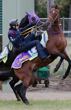 A bizarre incident at Werribee Quarantine Station (Aus), involved Japanese stayer Admire Rakti, who narrowly avoided injury after the 2014 Melbourne Cup topweight was attacked by stablemate Admire Inazuma who repeatedly attempted to savage him after dumping rider Hiroyuki Komi as the horses walked inside the Werribee quarantine station. Admire Inazuma (rear) attacks and attempts to bite stablemate Admire Rakti, as jockey Kiyoshi Shikato tries to stay aboard his horse. Picture: Colleen Petch