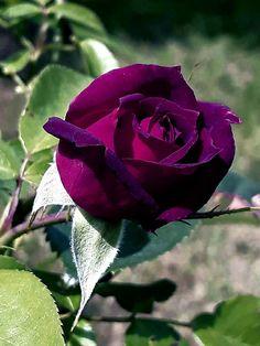 Beautiful Rose Flowers, Pretty Roses, Love Rose, Flowers Nature, Exotic Flowers, Spring Flowers, Beautiful Flowers, Diy Garden Furniture, Flower Meanings