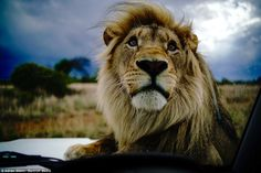 A lion is pictured lounging on top of a Mercedes during the photo shoot with wildlife phot...