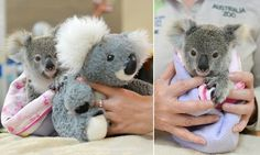 #Orphaned baby koala Shayne found next to his mother's body and now he cuddles up to a toy - Daily Mail: Daily Mail Orphaned baby koala…