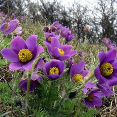"""Anemone Seeds - Pulsatilla vulgaris """"VIOLET"""",Great for rock gardens, perennial garden,Also combines well with spring bulbs or ground covers.Spring really is the time for bulbs to fill the garden with colour from the early snowdrops and narcissi t. Rock Garden Plants, Fall Plants, Purple Flowers, Spring Flowers, Plantes Alpines, Alpine Flowers, Sempervivum, Herbaceous Perennials, Perennial Plant"""
