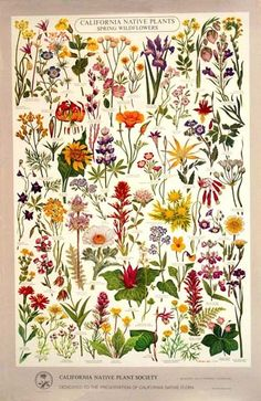California Native Plant Society - Poster of Spring Wildflowers (Artwork by Gompers Saijo) (CA native wildflower tattoo! California Wildflowers, Spring Wildflowers, California Native Plants, California Art, Spring Flowers, Botanical Drawings, Botanical Illustration, Botanical Flowers, Botanical Prints