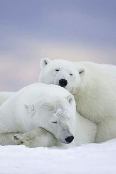 Peaceful Polar Bears!