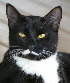 Love Tuxedo Cats Frm Alicia Fitzner's bd: Cats