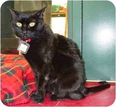 This beautiful House Panther is Brietta.  She's a very sweet, affectionate ladycat.  It may take her a little time to warm up to you, but once she does, she loves being held and will even sit in your lap.  Brietta was a stray kitty before she came to the shelter.