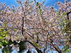 sakura in full bloom in gion, kyoto