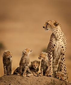 "beautiful-wildlife: "" Cheetah Family by ken dyball """