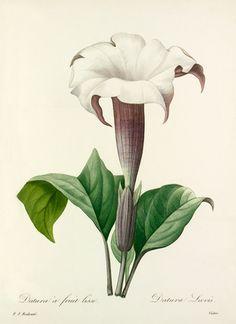 Redouté, Pierre Joseph (1759-1840) (Artist) -- Datura à fruit lisse : Datura Laevis -- Pierre-Joseph Redouté -- Artists -- RHS Prints