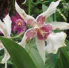 cura-delle-orchidee_O3.jpg (300×298)