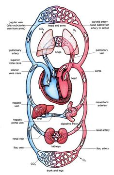 Heart animated gif heart pinterest animated gif anatomy and human circulatory system was a huge part of our chapter ccuart Choice Image