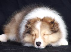 There is nothing cuter than a sleeping sheltie puppy.