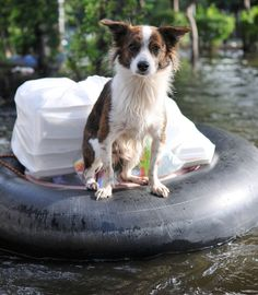 A Pet Dog Ferried to Safety on a Flooded Section of Road in Bangkok During the November Floods by Shutterstock.