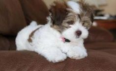 Havanese Puppies For Adoption FOR SALE ADOPTION from Queensland @ Adpost.com Classifieds > Australia > #66079 Havanese Puppies For Adoption FOR SALE ADOPTION from Queensland ,free,australian,classified ad,classified ads