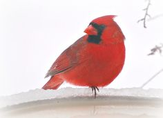 male Cardinal- picture taken by my mom