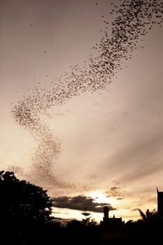 Millions of bats span out at dusk in search of insects, traveling as far as 500 miles (800 km) for their food. They are so powerful in masse that they can show up on radar.