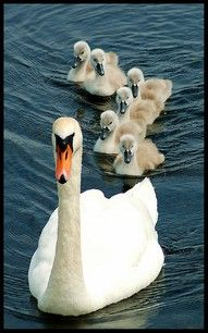 Mother Swan and Babies. looks like my swan friends in our back yard! Pretty Birds, Love Birds, Beautiful Birds, Animals Beautiful, Beautiful Swan, Beautiful Family, The Animals, Baby Animals, Nature Animals