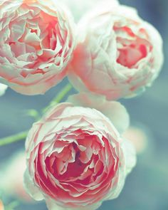 Pink Roses, Flower Photography, Pink and Teal Wall Art, Baby Girl Nursery Decor, Shabby Chic