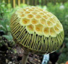 Small Green and Yellow Spore Pod dkruegerbotanicart