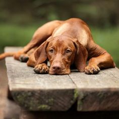 Sad Dog Vizsla lying on bench Greenfield Puppies, Hungarian Vizsla, Training Your Dog, Training Tips, Dog Photography, Weimaraner, Vizsla Dog, Dog Care, Beautiful Dogs