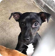 Seattle, WA - Chihuahua/Dachshund Mix. Meet Oboe, a dog for adoption. http://www.adoptapet.com/pet/18044906-seattle-washington-chihuahua-mix