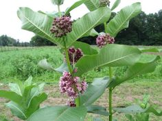 Starting Milkweed from Seed / Hudson Valley Seed Library - Garden Notes for Seedy Folks