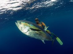 Spearfishing Giant Bluefin Tuna