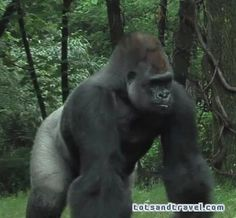 Bronx Zoo - gorilla