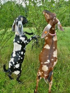 Goats with many spots. =)
