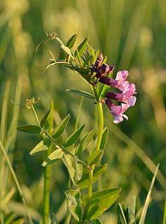 Vicia sepium - aed-hiirehernes.jpg