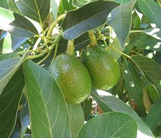 avocados 300.  BASIC INFORMATION  YOU SHOULD KNOW    BY JILLIAN STEINBERGER