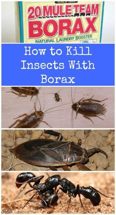 Borax is very effective at keeping cockroaches, ants, water bugs and a few other household pests at bay. You just have to mix equal parts of borax with regular sugar. The sugar helps to draw the bugs in and the borax takes them away – permanently. Take care that you do not leave this out where pets or small children can reach it. Mule Team Borax actually recommends that you keep it away from your pets so keep the bug treatment somewhere that pets cannot reach. Good places are under stoves, r...