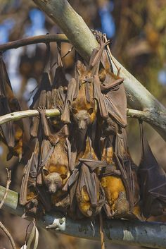 Little Red Flying Foxes roosting during the day in Australia -- Often so many bats cluster that they break tree branches.