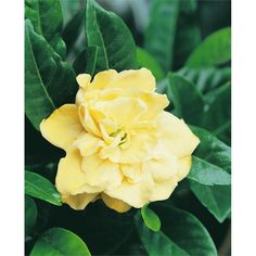 Front garden options 305mm Gardenia Augusta Magnifica Gold Magic I/N 3800717 | Bunnings Warehouse