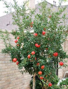 Pomegranate trees are among the most ornamental fruit trees. There are several ways to grow pomegranate trees in your yard. Fruit Plants, Fruit Garden, Edible Garden, Vegetable Garden, Garden Plants, Growing Fruit Trees, Growing Tree, Little Gardens, Tree Images