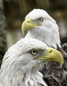 Bald Eagles Portrait at the Tampa Lowry Park Zoo, Florida All Birds, Birds Of Prey, Photo Aigle, Eagle Pictures, Eagle Images, Wings Like Eagles, Eagle Wings, All Gods Creatures, Bald Eagles