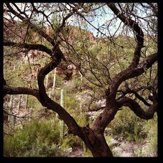 tree in Sabino Canyon