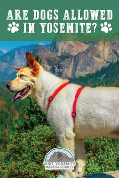 The question is are dogs allowed in Yosemite? In short, Yes. But there are some requirements you must follow. Read on to find out where dogs are allowed in Yosemite National Park, where they can't go and additional dog-friendly fun. Yosemite Mountains, Yosemite Falls, Us National Parks, Yosemite National Park, Travel With Kids, Family Travel, Travel Expert, Travel Tips