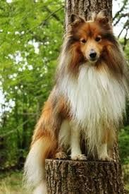 Image result for shelties in Hollywood