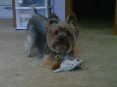 The perfect cut for my favorite #yorkie#boy