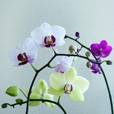 部屋の画像 by tiger11さん | 部屋とミニ胡蝶蘭と胡蝶蘭とお気に入り植物 フォト&エピソード コンテスト