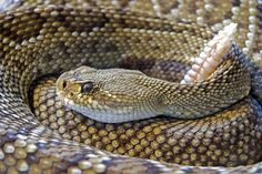 January 28th is Rattlesnake Roundup Day! Find out more information at https://www.checkiday.com.