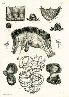 Etudes et détails microscopiques du Coeur.  GRAVURE AUTHENTIQUE provenant du Traité Complet dAnatomie du docteur Bourgery avec planches lithographiées daprès nature. Jean-Baptiste Marc Bourgery, né à Orléans le 19 mai 1797 et mort à Paris en juin 1849, est un médecin et anatomiste français. Il entreprend en 1829 la publication de son œuvre maîtresse : le Traité Complet de lAnatomie de lHomme, qui occupera les quinze années restantes de sa vie. Cet ouvrage monumental, qualifié de « magnifique…