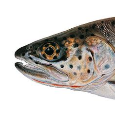 Humboldt Cutthroat Trout. Illustrated and © by Joseph R. Tomelleri.