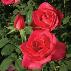 'Astounding Glory' | Hybrid Tea Rose. Bred by Jackson & Perkins (United States). Introduced in United States by Jackson & Perkins Co. in 2013