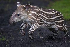 Germany_Zoo_Tapir_0de82.jpg (606×412)