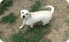 Pictures of Lela a Rat Terrier Mix for adoption in Modesto, CA who needs a loving home.
