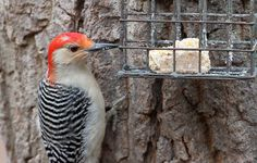 Make Your Own Suet | Audubon